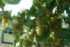 Chardonel Grapes Ripe